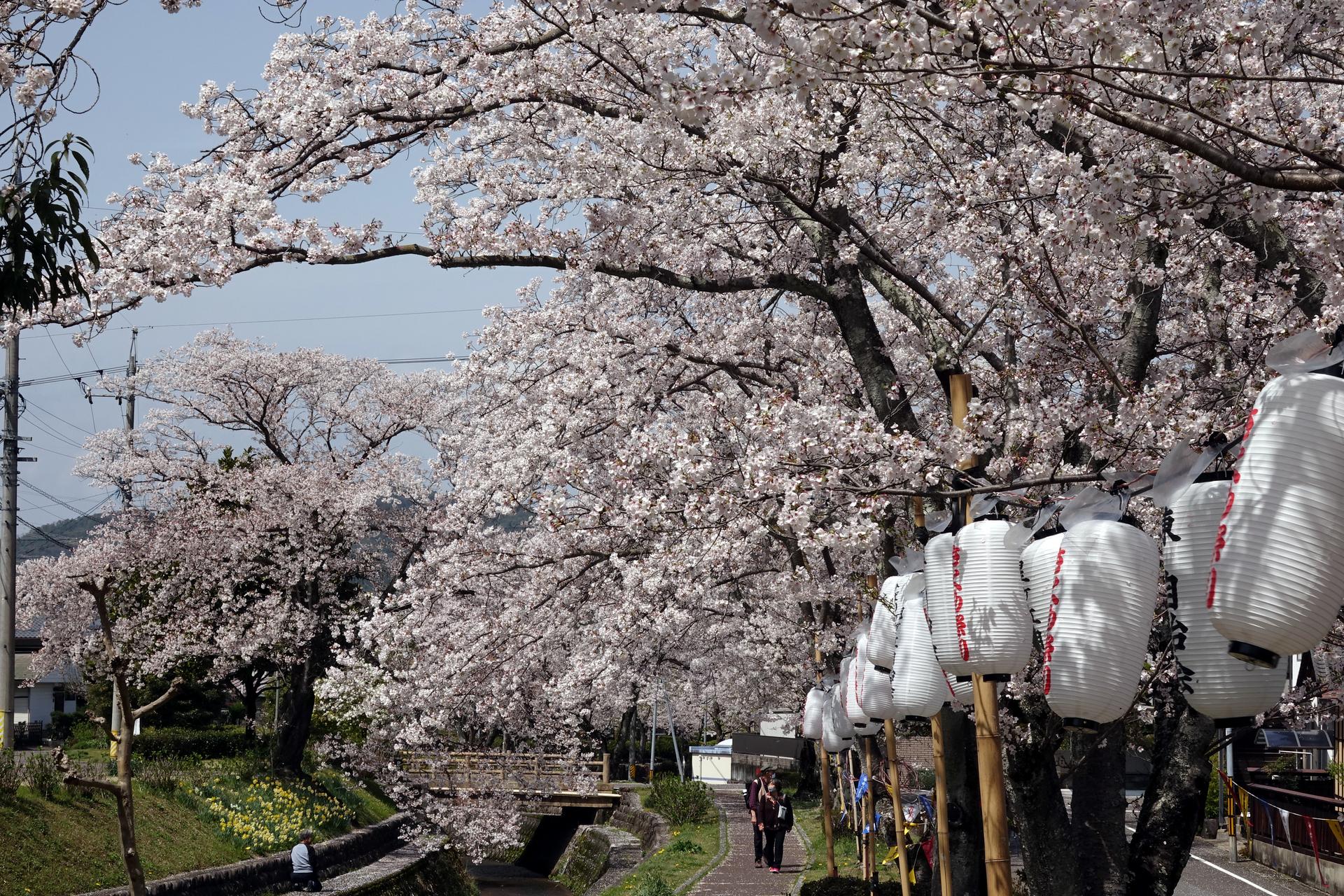 DSC09339末洞川堤桜並木.JPG
